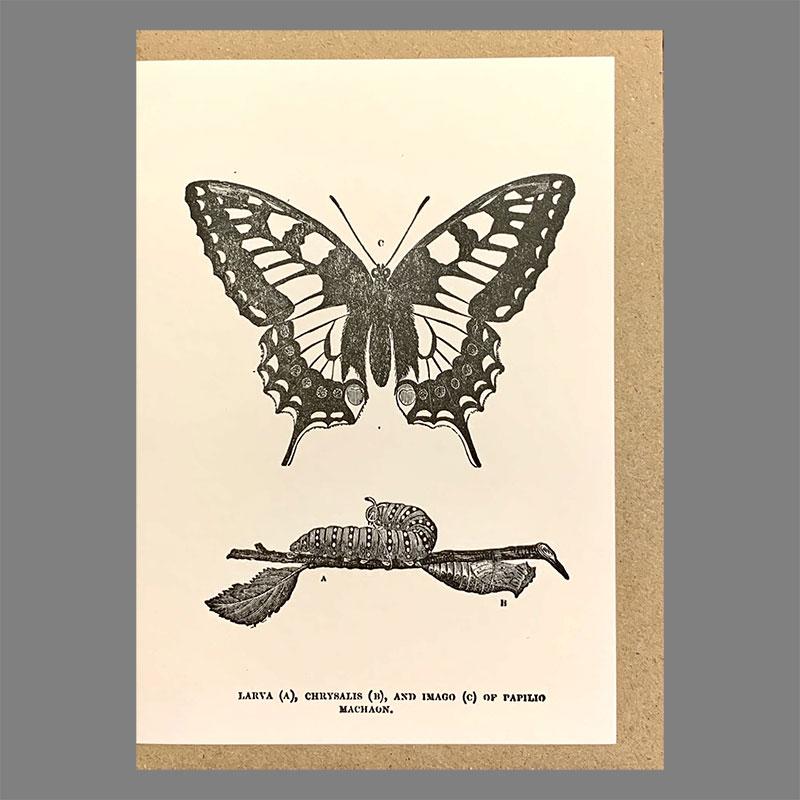 larva to imago for Papilio Machaon